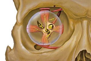 Eye_orbit_anatomy_300x300